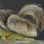 weevil foot