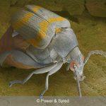 seed beetle