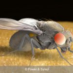 fruit fly
