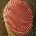 fruit fly eye
