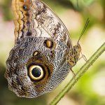 cocoa mort bleu butterfly
