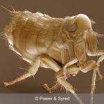 bird flea